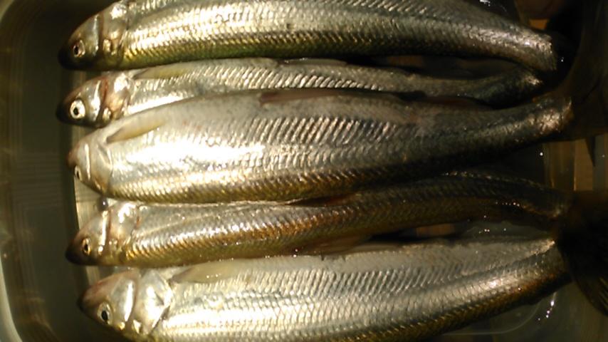 キュウリ魚(^o^)v