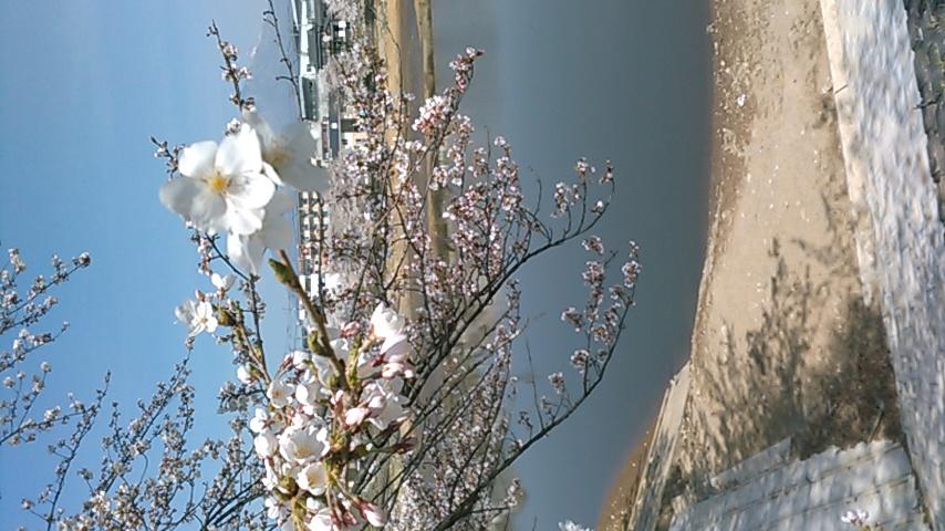 桜は八分咲きo(^o^)o